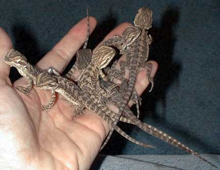 Baby bearded dragon care guide.