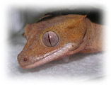 Photo of our new Crested Gecko