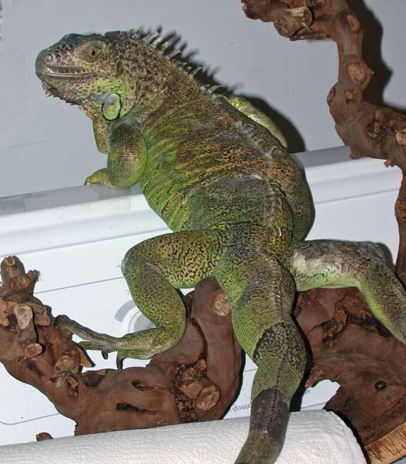 The Connecticut Iguana Sanctuary