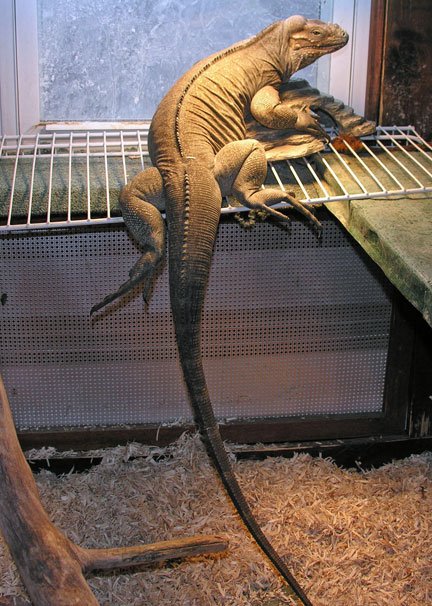 Picture of Diego, a rhino iguana with aspen bedding for her substrate