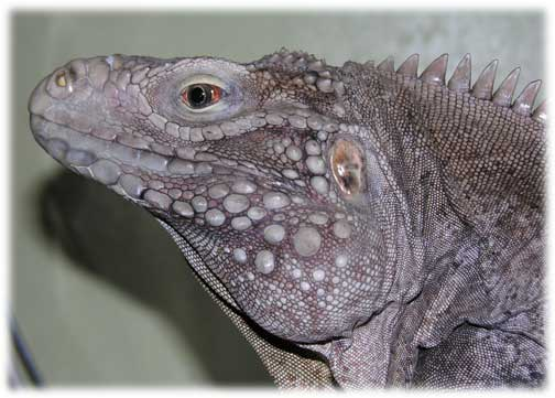 Photo of Pete, a Cyclura nubila caymanensis
